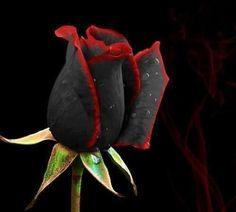 黒バラ09