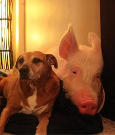 Esther the Wonder Pig - PawNation