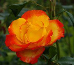 Rosa.   Claire*D