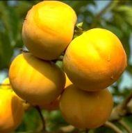 Hana Japanese Persimmon Tree