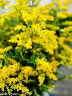 Nawłoć -cudowne zastosowanie tego żółtego ziela, które rośnie wszędzie