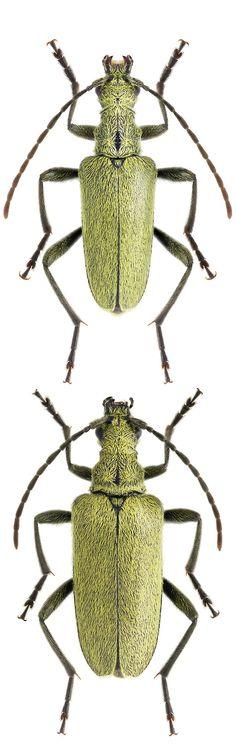 Amaeops angusticollis