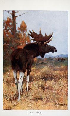Moose, Wild Life of the World, Richard Lydekker, 1916.