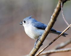 Tuffed Titmouse by steffro1, via Flickr