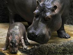 Yavru hayvan resimleri #babyhippo #hippo #cutehippo #littlehippo #sweethippo #funnyhippo #babyanimals #cuteanimals