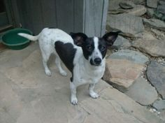 Fiona is an adoptable Jack Russell Terrier Dog in Trevorton, PA. Fiona is a 1 year old, 27 pound mix that was rescued from a high kill shelter. She's very friendly and loves to follow her foster aroun...