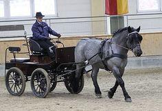 Noriker stallion Fresach Elmar XIV