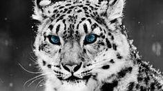 https://www.instagram.com/p/BP6OBqEBSLe/ @Regrann from @saibertin -  #wild #cats #cat #wildthing #nature #animal #ANIMALS #animalove #lampart #snow #snowlampart #dope #pic #picoftheday #instapic #blueeyes #kitties #kitty #kitten #kittens #strenght #inspiration #inspirational #motivation #inspire - #regrann