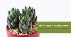 Haworthia reinwardtii is a small clumping succulent. Its leaves are large at the bottom, then narrowing to a point as it curves upwards. The leaves spiral in a column, and have white bumps on the outside of the leaves. Crassula Succulent, Propagating Succulents, Succulent Wreath, Succulent Care, Echeveria, Succulent Ideas, Types Of Succulents, Growing Succulents, Succulents In Containers
