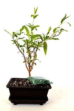Dwarf-Pomegranate-Mame-Bonsai-with-Water-Tray-and-Fertilizer-Plant-5-039-039-Inch-Vase
