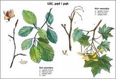 Scenariusz 1 Montessori, Plant Leaves, Plants, Plant, Planting, Planets