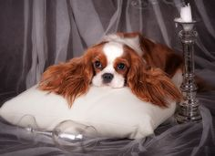 We're out of wine...again.              Cavalier King Charles Spaniel
