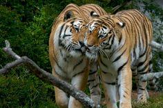 .... Tigers ....