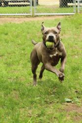 Mariah is an adoptable American Staffordshire Terrier Dog in West Cornwall, CT. Mariah is a beautiful girl who is as gentle as can be. She loves to give kisses, play in the snow and be with people. Sh...
