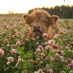 Cute Baby Cow, Baby Cows, Cute Cows, Cute Babies, Baby Elephants, Fluffy Cows, Fluffy Animals, Cow Pictures, Animal Pictures