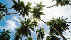 Stock Footage of Abstract iconic timelapse scenic of palm trees(coconut) against bright blue sky with scattered clouds on sunny day, tropical island(beach), Seychelles. Explore similar videos at Adobe Stock Island Beach, Seychelles, High Quality Images, Palm Trees, Sunny Days, Stock Footage, Coconut, Tropical, Clouds