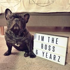 Boss the French Bulldog is 6 years old