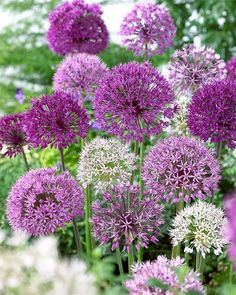 Allium giganteum, the giant leek - Flores Beautiful Flowers, Garden Plants, Allium Garden, Bulb Flowers, Garden Boxes, Perennials, Plants, Planting Flowers, Allium Flowers