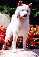 white Shiba Inu