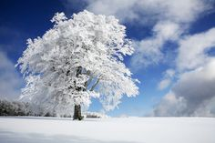 Winter Tree - photo-wallpaper