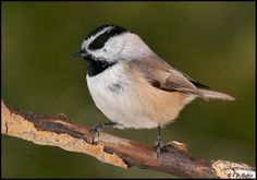 Black-capped Chickadee (Poecile atricapillus), a songbird found in North America from Atlantic to Pacific coasts from the the northern half of the United States up to James Bay, Canada and westward over to the southern edge of the Northwest Territories, the Yukon, and the southern half of Alaska.