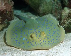 Mike Bacon Photography: Blue Spotted Stingray