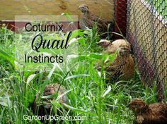 I was told Coturnix quail wouldn't survive living on the ground.  I learned these birds have amazing instincts and they're doing fantastic.  Learn more about Coturnix Quail Instincts.