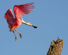 Roseate Spoonbill in Abaco.  Becoming very rare.