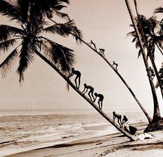 Coconut climbing kids of old Ceylon, Sri Lanka, ca. 1920s