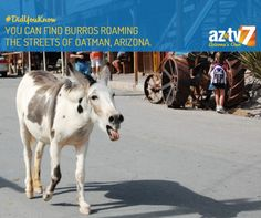 If you're looking for wild burros, Oatman is the place to go! #AZ365 #AZTV