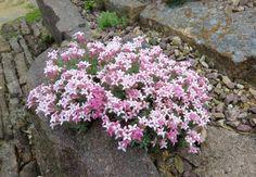 Class 11 - Alpine Garden Society Online Show, 2016 - Alpine Garden Society - Asperula daphneola