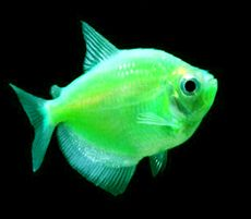 "Premium Electric Green Glofish Tetra, 1"" to 1.5"" long"