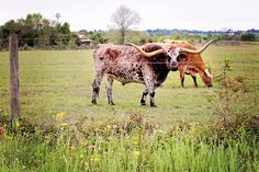 #Famous Longhorns in Texas