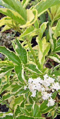 Elderberry:  deep shade.  Deciduous.  Sambucus 'Madonna'