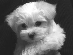 Maltese~ how could you not fall in love with this lil baby~~~ #maltese
