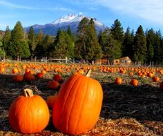 Thank you Lee Weber for this nice picture from outside of Weed. Cool pumpkins & SNOW on MOUNT SHASTA!