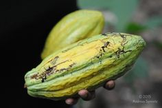 Askanya Chocolate. Haitian cacao.