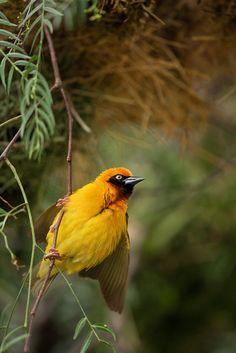 Speke's Weaver Bird : Lake Nakuru, Kenya