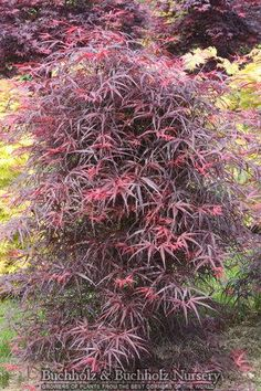 Acer palmatum 'Hubb's Red Willow'- cool look