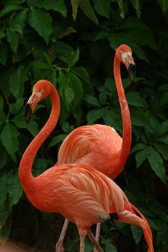 "whatisitdaily: ""answer a Flamingo - flamant rose "" Foto Flamingo, Flamingo Art, Pink Flamingos, Flamingo Garden, Flamingo Wallpaper, Animal Wallpaper, Exotic Birds, Colorful Birds, Pretty Birds"
