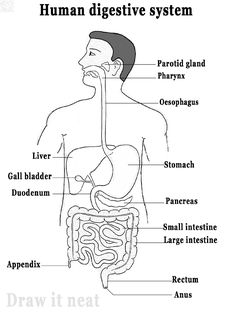 DRAW IT NEAT: How to draw human digestive system