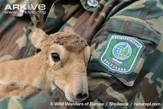Image result for saiga antelope