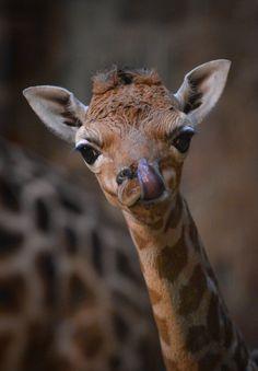 Chester Zoo: A rare Rothschild giraffe calf.