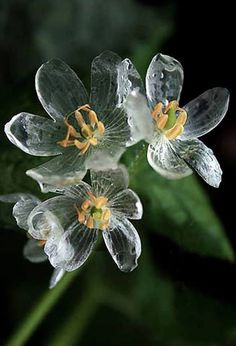 The Diphylleia Grayi is a wonderfully unique flower whose petals turn clear as glass when it's splattered with raindrops. Commonly referred to as the skeleton flower, it hails from the moist wooded mountainsides in the colder regions of China and Japan. The flowers come out in late spring, with large, fuzzy green, umbrella-like foliage topped with small clusters of pretty white petals. And when it rains, they're such a wonderful sight to behold.