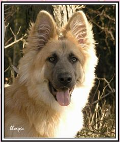 German Shepherd blondy had to share this I knew I blond GSD like this only this is a plush yancy had a short coat. this is fantastic love love this doggie. but U know I love the other colors as well oh guess I just move GSD enjoy peace b with you, your fa Types Of German Shepherd, German Shepherd Puppies, German Shepherds, Beautiful Dogs, Animals Beautiful, Rhodesian Ridgeback, Weimaraner, Malinois, Schaefer
