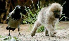Piebald raven & wolf pup - buddies