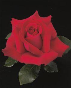We Salute You™ Hybrid Tea Elegant Flowers, Large Flowers, Amazing Flowers, Beautiful Roses, Colorful Flowers, Exotic Flowers, Pretty Flowers, Weeks Roses, Patio Trees