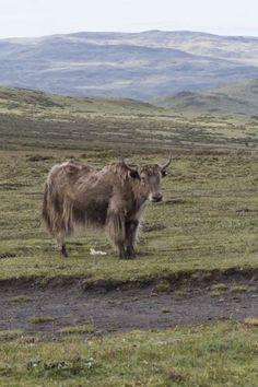 Yak on the Tibetan grassland, Tagong, Sichuan, China
