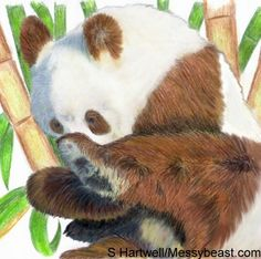 SEPIA GIANT PANDA (BROWN GIANT PANDA) When asked to describe the endangered Giant Panda (Ailuropoda melanoleuca), most people envisage a black-and-white animal. However, during the 1980s, a brown colour morph of panda was discovered in the Qinling Mountains region of China's Shaanxi Province. It has been dubbed Ailuropoda melanoleuca qinlingensis and may be an emerging subspecies of Giant Panda.