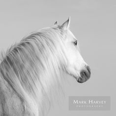 Gray Mane by Mark Harvey  Black & White Photography, Fine Art, Refined, Horses, Uk Horse Photographer, Refined Equine Portraiture.